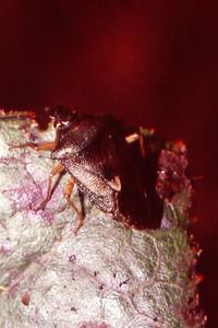 Oechalia sp. (Penatomidae), West Maui