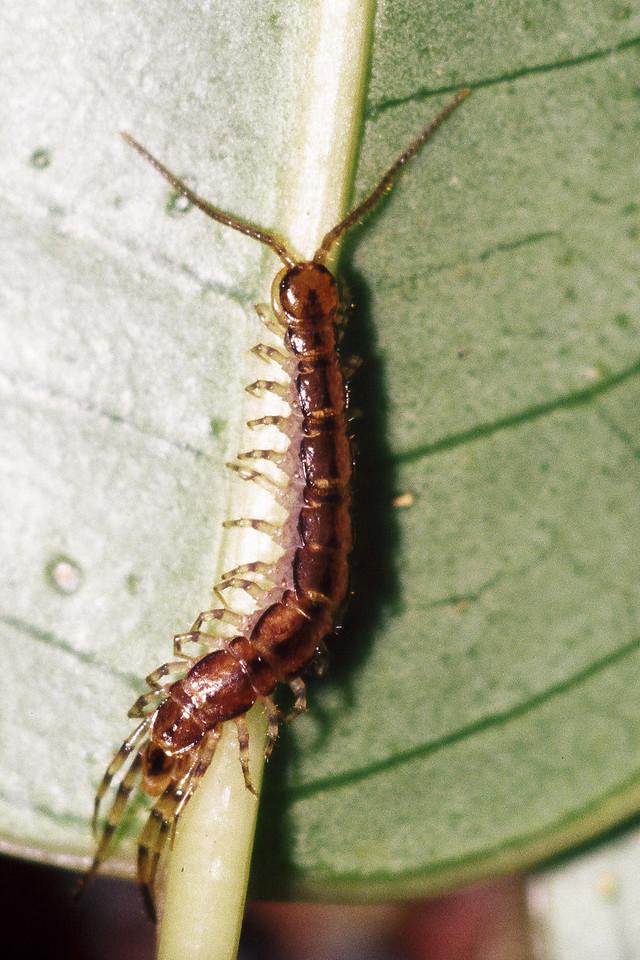 Liyhobius sp. (Chilopoda), West Maui