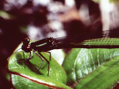 Megalagrion sp., (Odonata: Coenagrionidae) West Maui