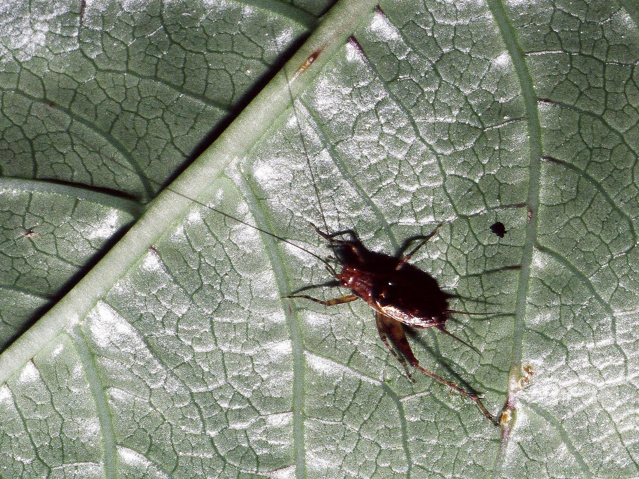 unidentified Trigonidiinae (Orthoptera: Gryllidae), West Maui