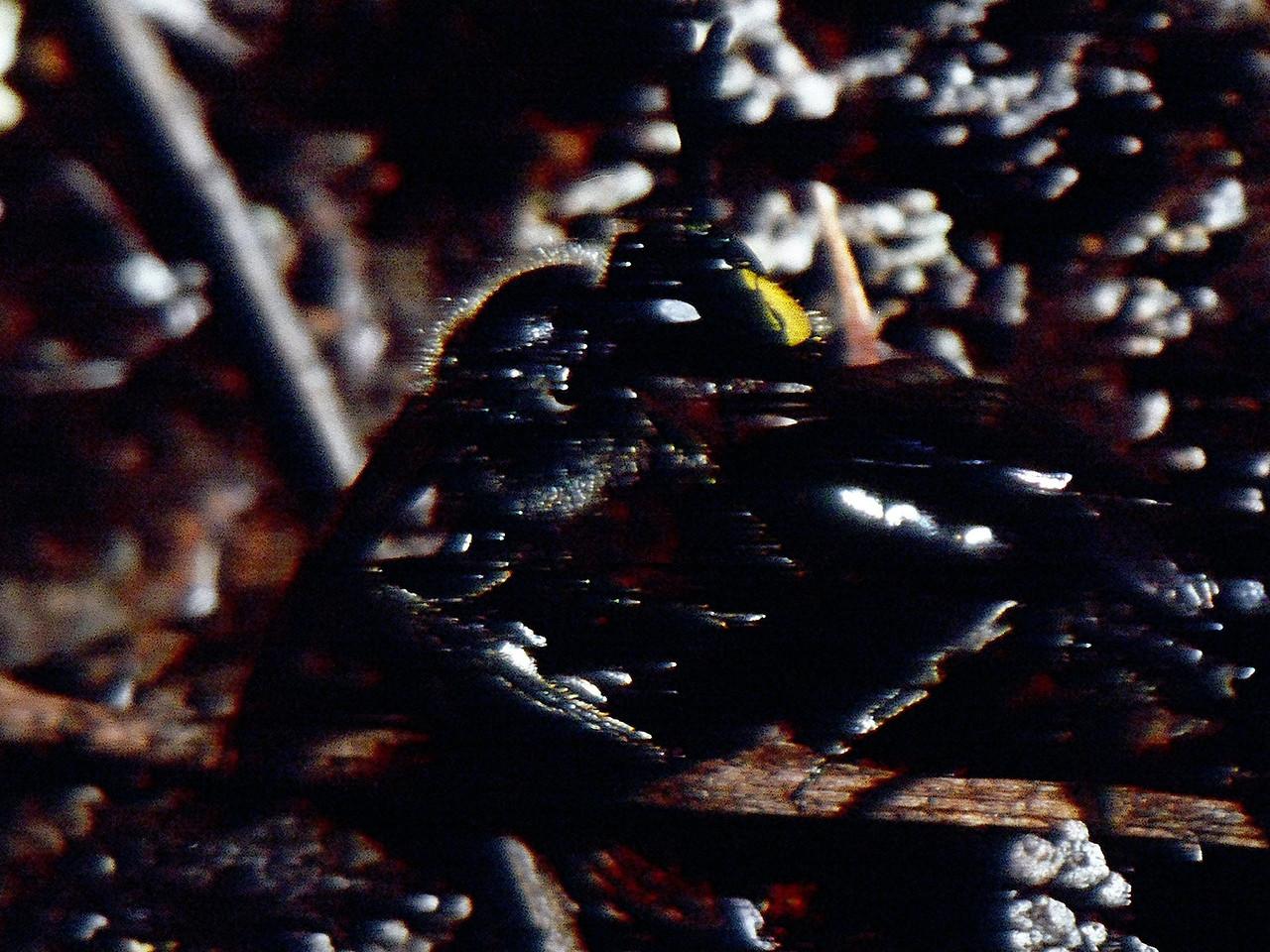 Hylaeus sp. (Colletidae), Mauina Loa (Big Island)