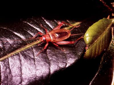 Trigonidium sp. (Gryllidae), West Maui