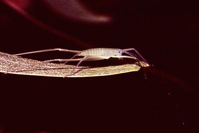 Tettigoniidae (Orthoptera), West Maui