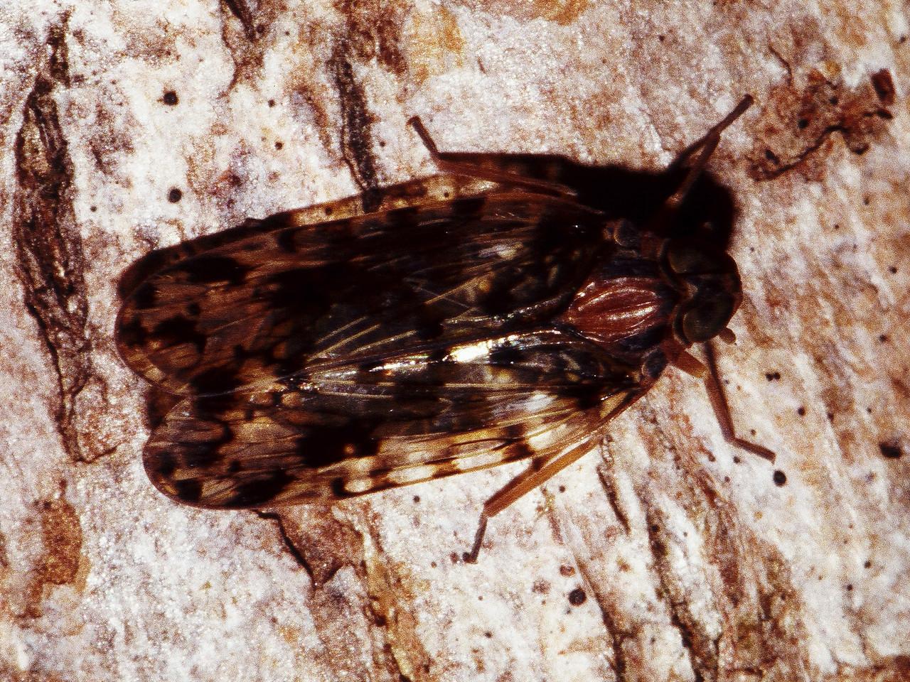 Iolania sp. (Cixiidae), West Maui