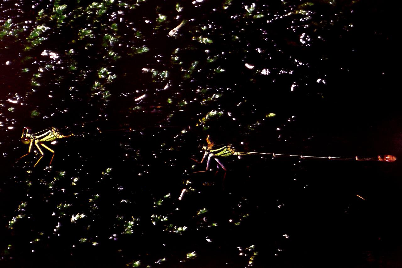 Megalagrion nigrohamatum (Coenagrionidae), West Maui