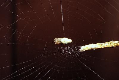 Araneae : Cyclosa, West Maui