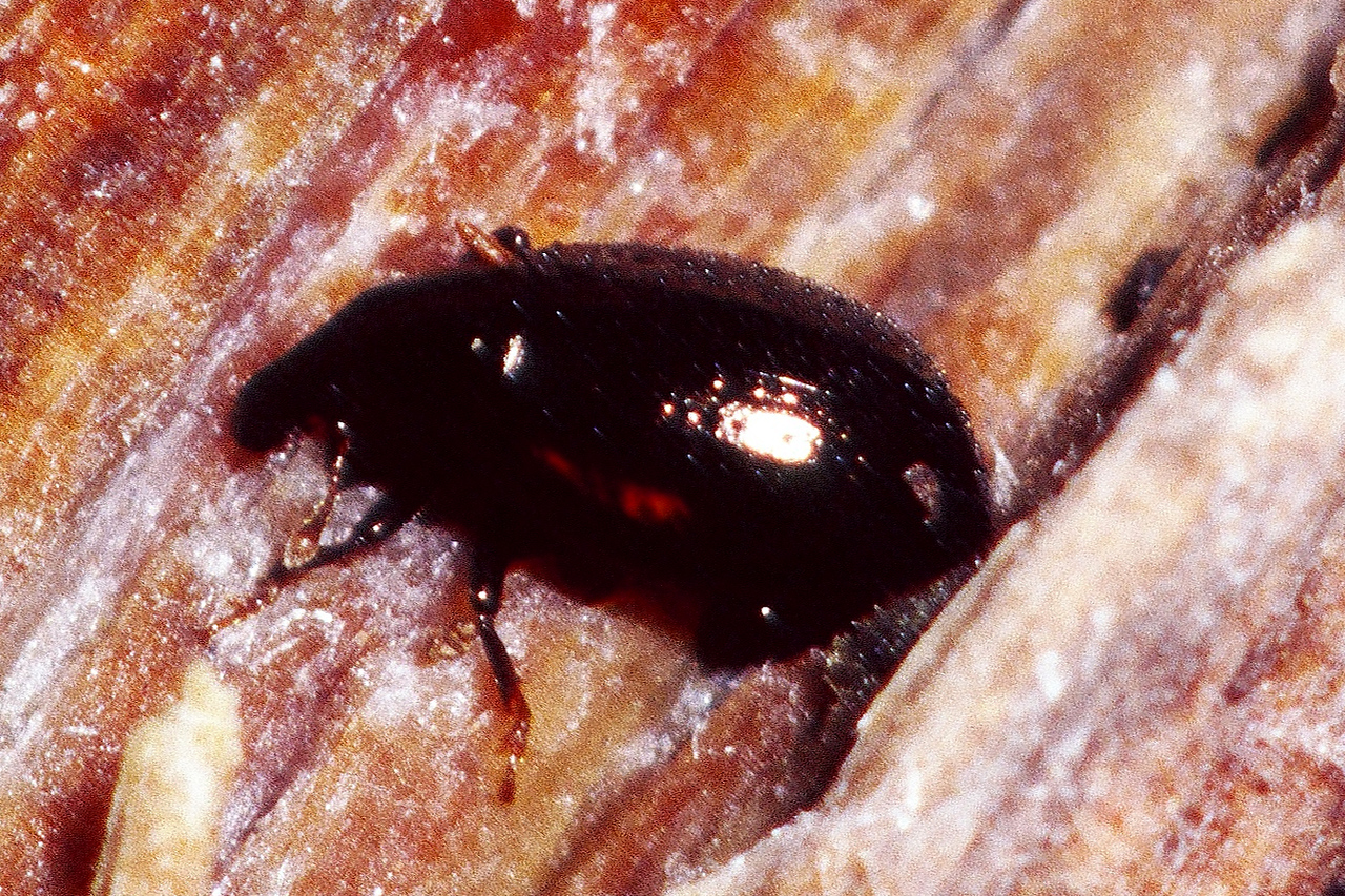 unidentified Curculionidae (Coleoptera), West Maui