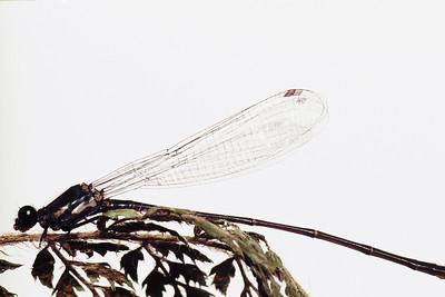 Megalagrion koelense (Coenagrionidae), West Maui