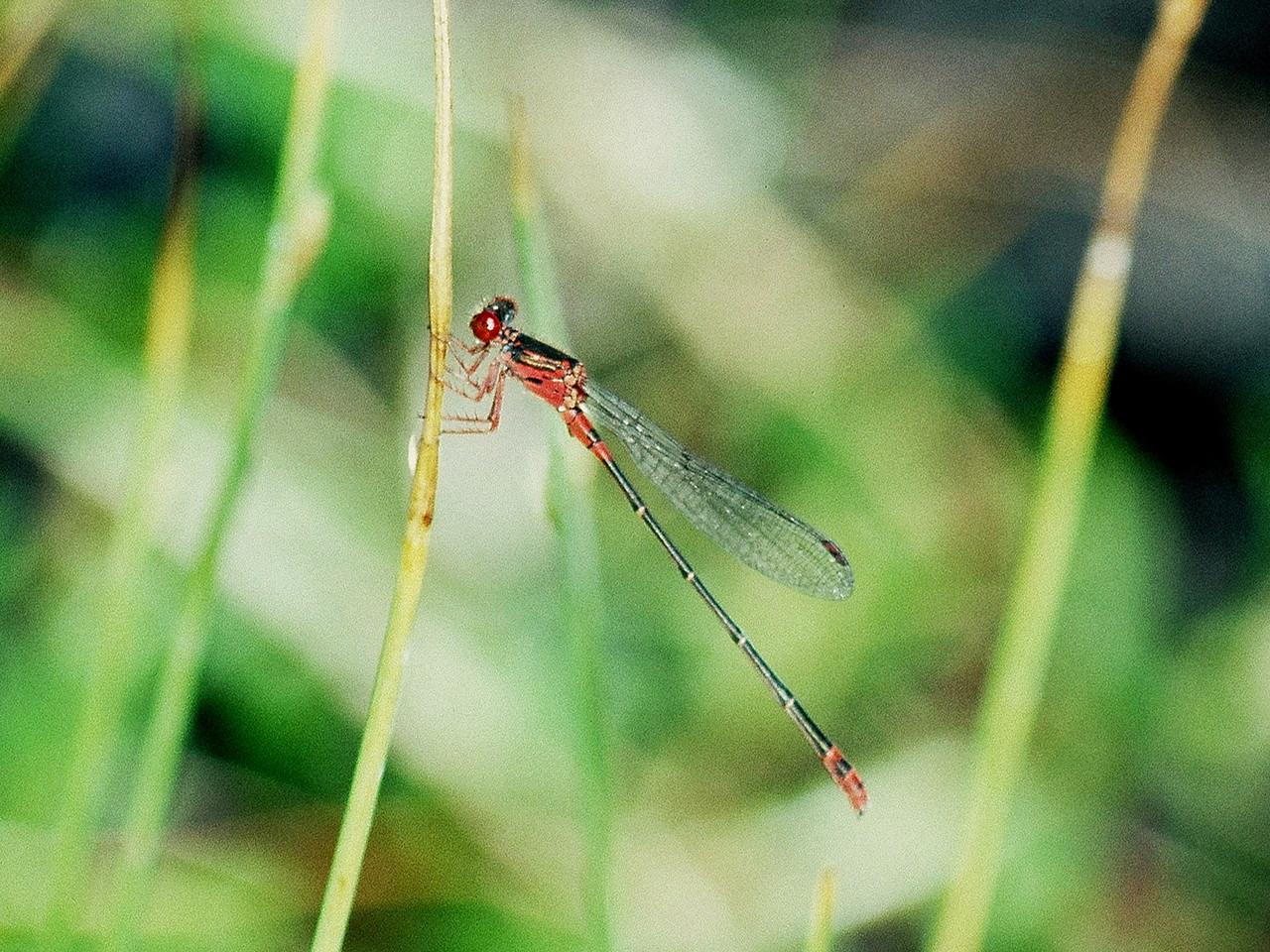 Megalagrion xanthomeles (Odonata: Coenagrionidae), East Maui