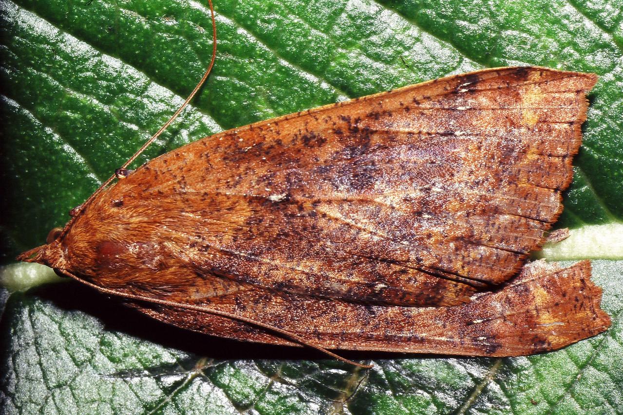 Scotorythra euryphaea (Geometridae), West Maui
