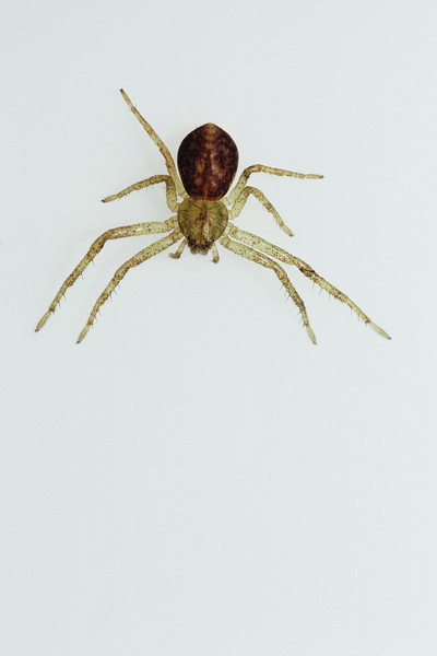 Araneae (unidentified species)