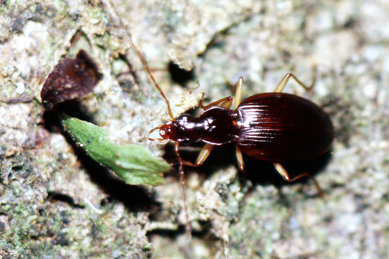 Carabidae on Cheirodendron trigynum, West Maui