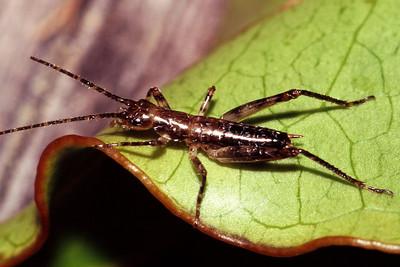 Gryllidae (Orthoptera), West Maui