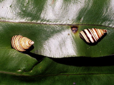 Partulina splendida, West Maui
