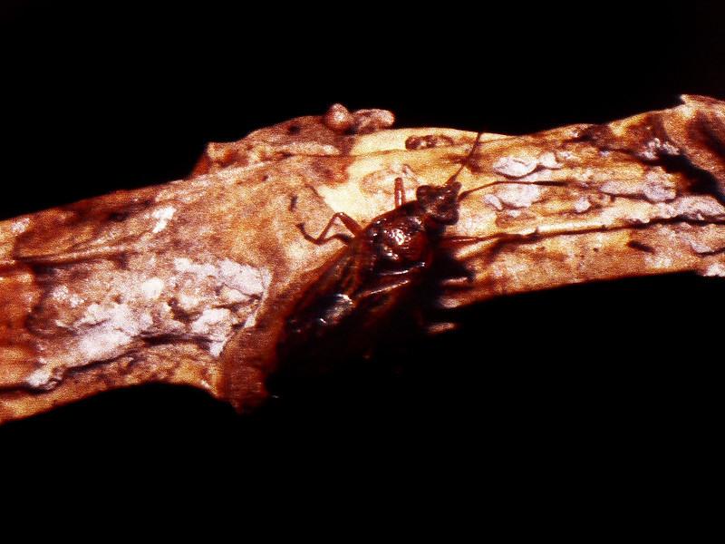 Lygaeidae (Heteroptera), West Maui