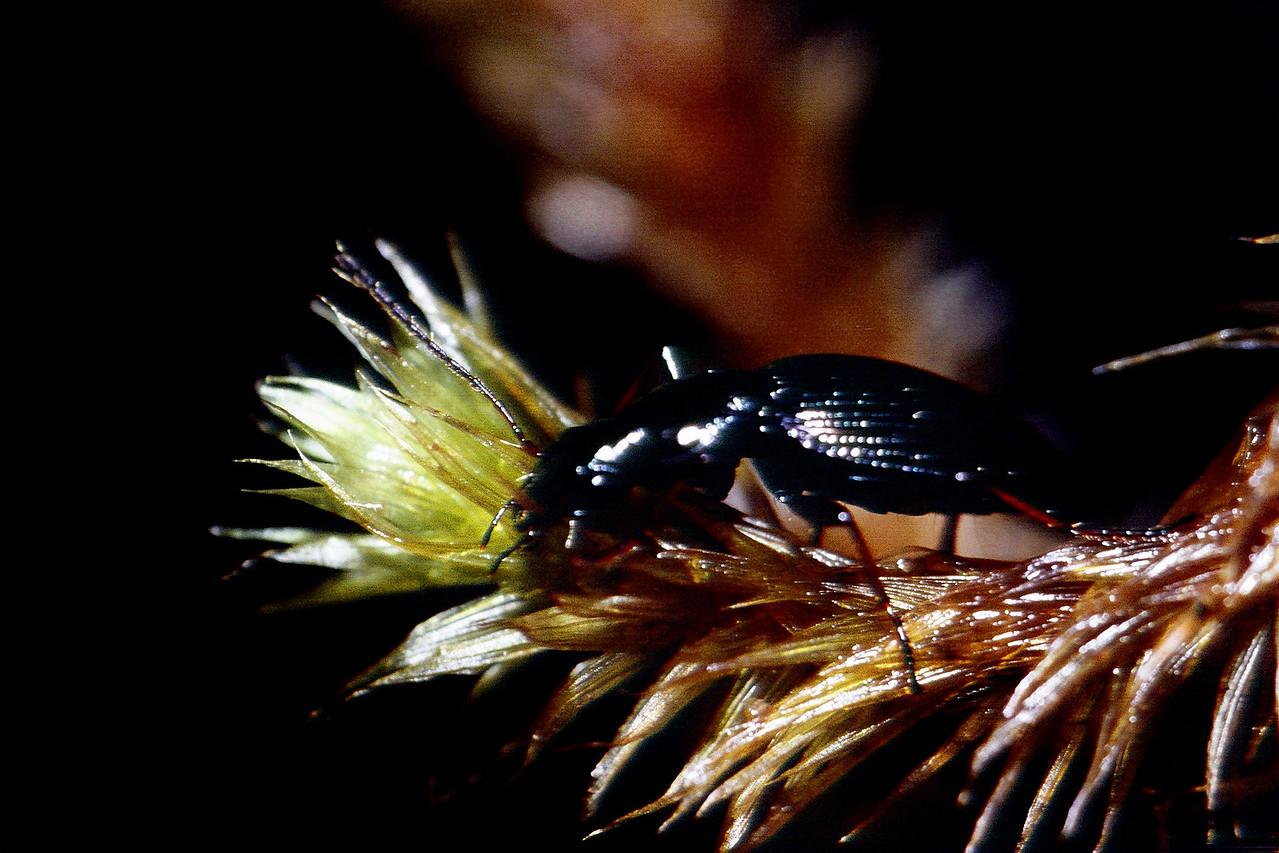 Blackburnia sp., West Maui