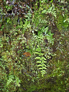 """Cystopteris douglasii (East Maui)This image is licensed under the Creative Commons Attribution-NonCommercial 3.0 Unported license.  You may share and adapt this work, but only with attribution (""""by Hank L. Oppenheimer"""") and only for non-commercial purposes unless permission is obtained from the copyright-holder (contact webmaster@hear.org)."""