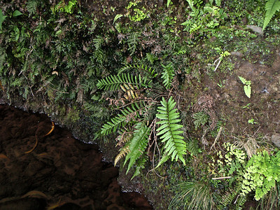 """Christella boydiae (East Maui)This image is licensed under the Creative Commons Attribution-NonCommercial 3.0 Unported license.  You may share and adapt this work, but only with attribution (""""by Hank L. Oppenheimer"""") and only for non-commercial purposes unless permission is obtained from the copyright-holder (contact webmaster@hear.org)."""
