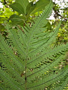 """Christella cyatheoides x Pneumatopteris sandwicensis (West Maui)This image is licensed under the Creative Commons Attribution-NonCommercial 3.0 Unported license.  You may share and adapt this work, but only with attribution (""""by Hank L. Oppenheimer"""") and only for non-commercial purposes unless permission is obtained from the copyright-holder (contact webmaster@hear.org)."""