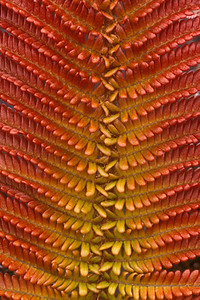 "Sadleria cyatheoides (East Maui) This image is licensed under the Creative Commons Attribution-NonCommercial 3.0 Unported license.  You may share and adapt this work, but only with attribution (""by Hank L. Oppenheimer"") and only for non-commercial purposes unless permission is obtained from the copyright-holder (contact webmaster@hear.org)."