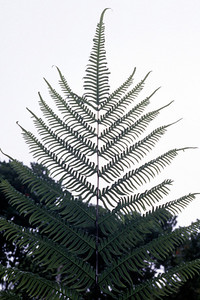 """Pteris excelsa This image is licensed under the Creative Commons Attribution-NonCommercial 3.0 Unported license.  You may share and adapt this work, but only with attribution (""""by Hank L. Oppenheimer"""") and only for non-commercial purposes unless permission is obtained from the copyright-holder (contact webmaster@hear.org)."""