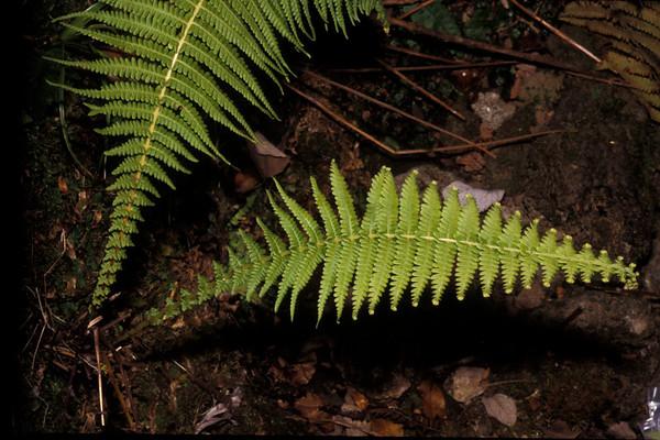 Amauropelta globulifera