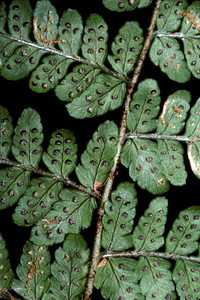 "Dryopteris hawaiiensis This image is licensed under the Creative Commons Attribution-NonCommercial 3.0 Unported license.  You may share and adapt this work, but only with attribution (""by Hank L. Oppenheimer"") and only for non-commercial purposes unless permission is obtained from the copyright-holder (contact webmaster@hear.org)."