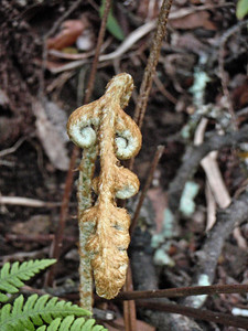 """Ctenitis squamigera (West Maui)This image is licensed under the Creative Commons Attribution-NonCommercial 3.0 Unported license.  You may share and adapt this work, but only with attribution (""""by Hank L. Oppenheimer"""") and only for non-commercial purposes unless permission is obtained from the copyright-holder (contact webmaster@hear.org)."""