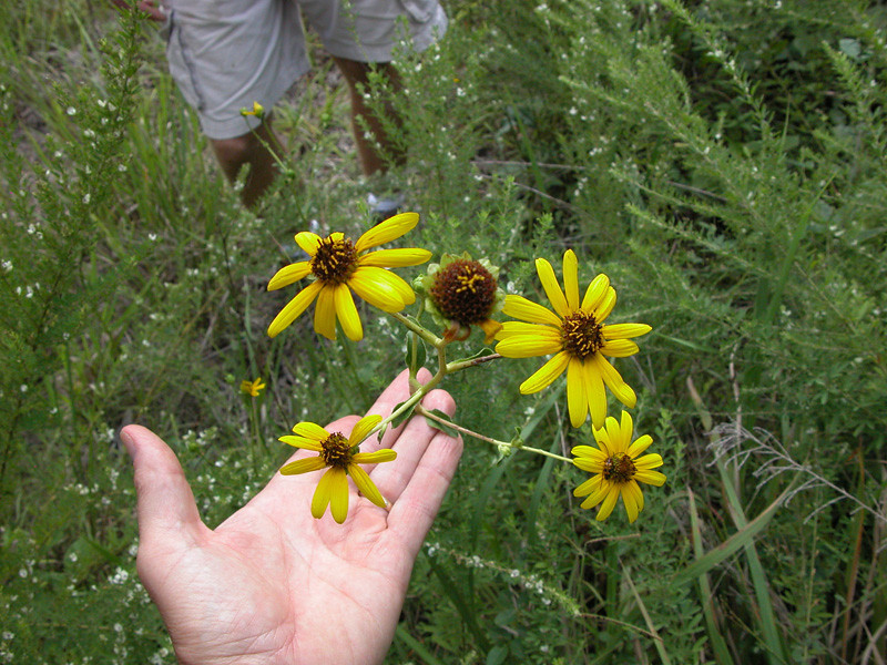helianthus_sp_jlr