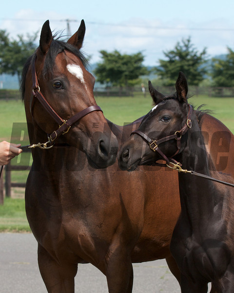 Gabby's Golden Gal at Shadai Farm in 2012. With Heart's Cry colt, not in foal.<br /> Photo by: Kate Hunter