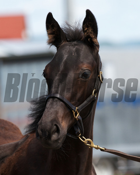 Gozzip Girl's 2012 colt by Deep Impact at Shadai Farm.<br /> Photo by: Kate Hunter