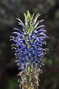 Lobelia grayana in Waikamoi Preserve (East Maui) Photo copyright (c) 2010 by Philip A. Thomas (imagesbypt@philipt.com).  Permission for non-commercial use is usually granted; please ask.