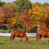 Broodmares walk the paddock at Song Hill Farm Wednesday Oct. 14, 202 in Stillwater, N.Y.    Photo by Skip Dickstein