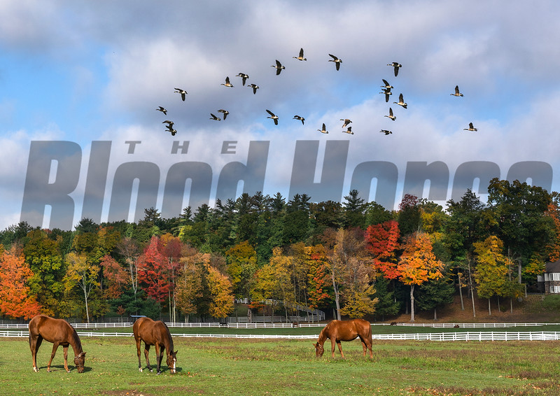 Broodmares walk the paddock as geese fly in a southerly direction at Song Hill Farm Wednesday Oct. 14, 202 in Stillwater, N.Y.    Photo by Skip Dickstein