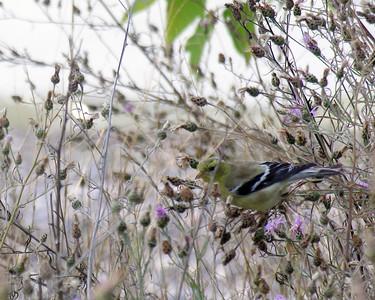 N0727 Goldfinch