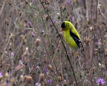 N0724 Goldfinch