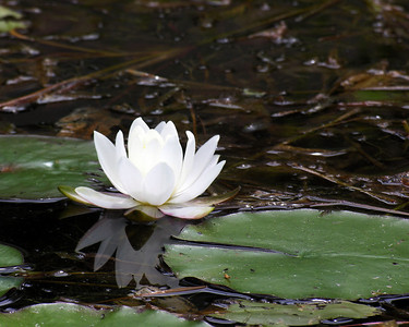 N0110  Water Lily