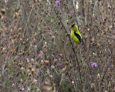 N0722 Goldfinch