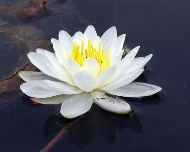 N0128  Water Lily