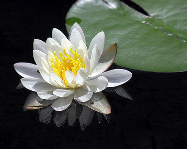 N0086 Water Lily