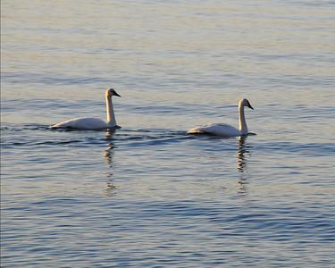 20080116_0804 Swans