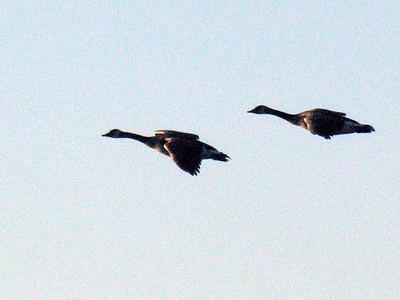 N1986 Geese Fly