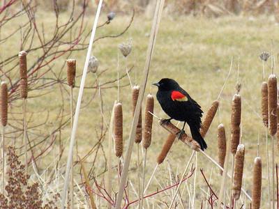 N1983 Redwing Blackbird