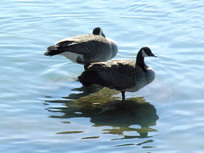 N1981 Geese on a rock