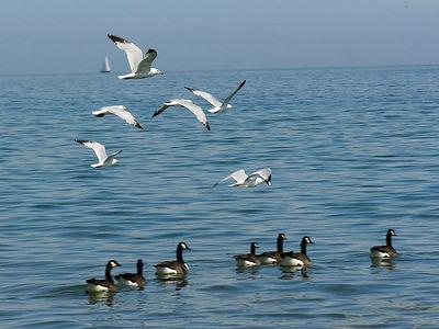 019 Gulls on Geese