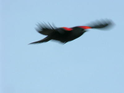 004 Red Wing Blackbird
