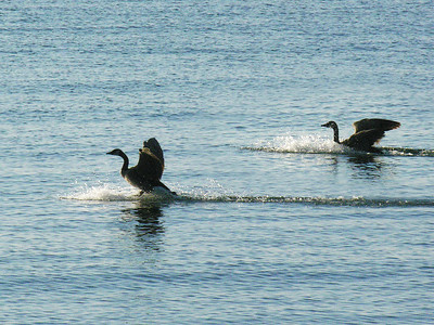 N1987 Geese land