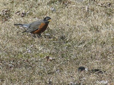 012 Robin4