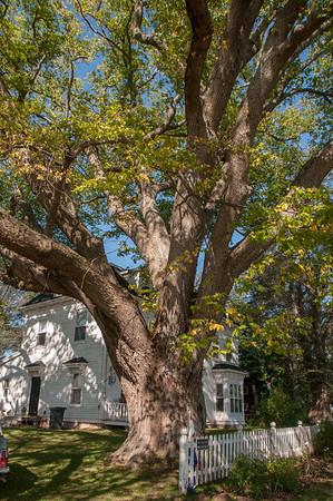 Prince Edward Island's  Biggest Tree