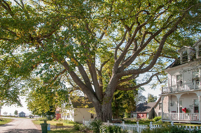 Prince Edward Island's  Biggest Tree